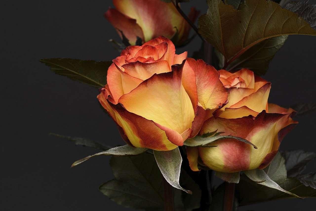 Saint Valentin 2021, rose