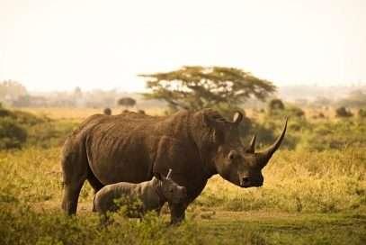 Trafic de cornes de rhinocéros